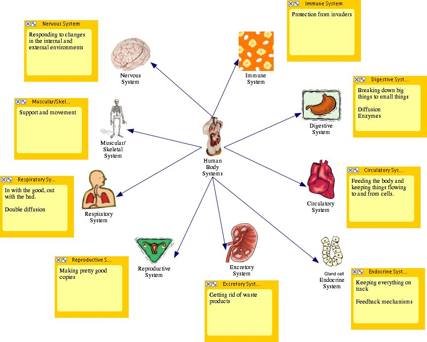Body Systems on blood flow of brain