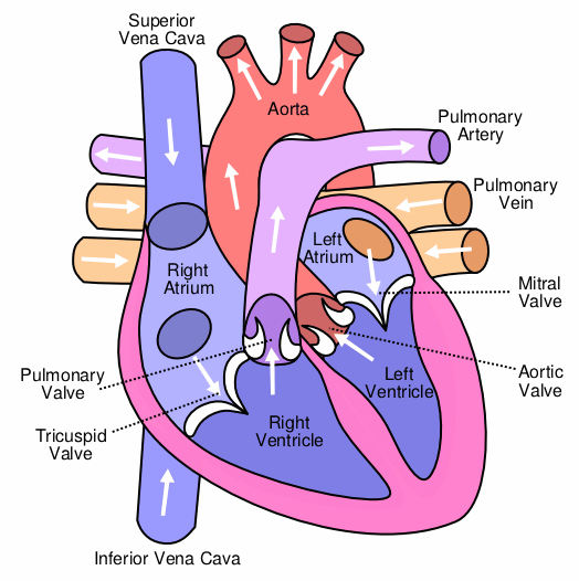 Diagram of the heart not labeled application wiring diagram circulatory system diagram not labeled rynakimley rh rynakimley blogspot com diagram of the heart not labeled heart diagram labled ccuart Choice Image